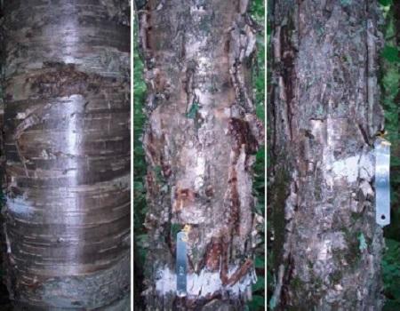 L'écorce peut-elle nous indiquer la vigueur d'un arbre feuillu ?
