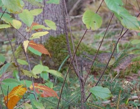 Maîtriser le nerprun bourdaine en plantations forestières