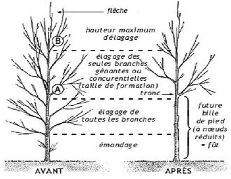 Taille de formation des arbres feuillus
